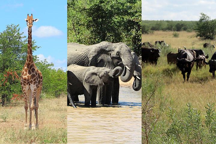 Elephant, Buffalo & Giraffe